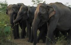 "Sri Lanka Mammals"""
