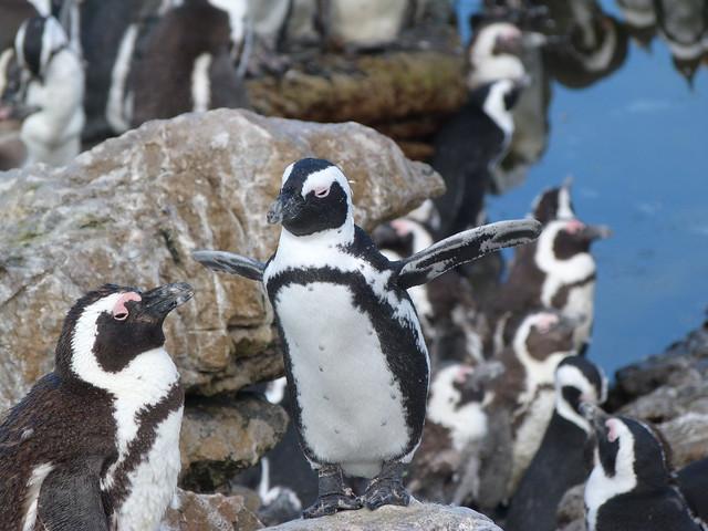 Pingüinos en Stony Point (Sudáfrica)