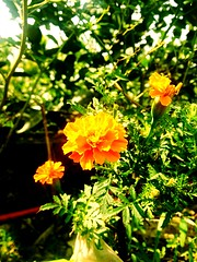 The Marigold flower of my Garden by iPhone Photography