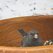 Small photo of Junco in a salad bowl