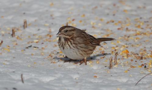 DSC_3221e2 song sparrow