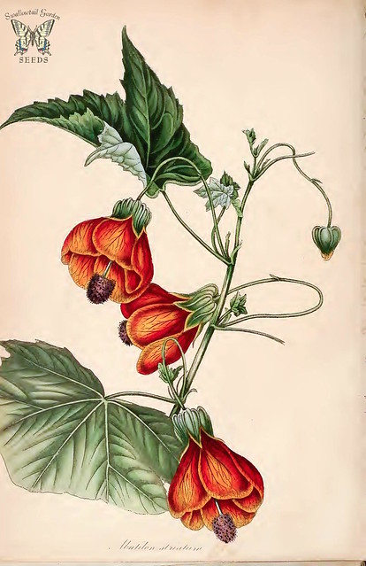 Header of Abutilon striatum