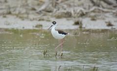 wetland, animal, fauna, stilt, beak, bird, wildlife,