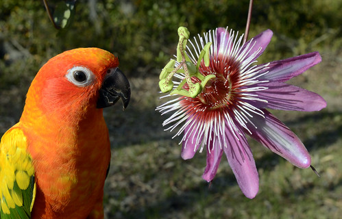 Sun Conure and Passiflora 'Anastasia'