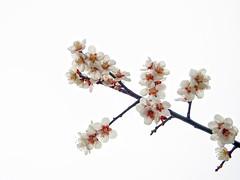 Ume blossoms.梅