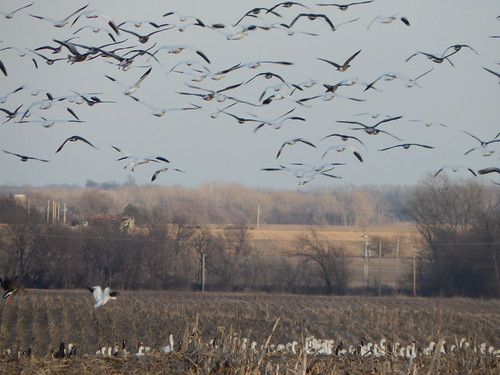 Migrating snow geese and Canadian geese - Marion County Kansas - February 17, 2015
