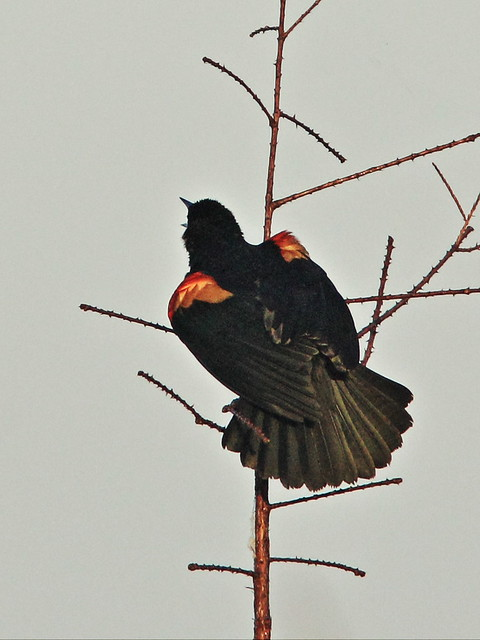 Red-winged Blackbird singing 2-20150302