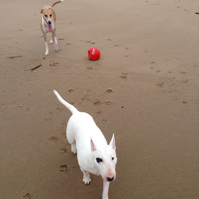 Bull Terrier and Lurcher