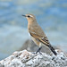 NORTHERN WHEATEAR 1611 by Mudhen2