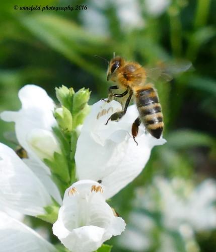 Westliche Honigbiene (Apis mellifera) / Western honeybee