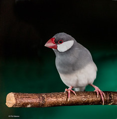 Java sparrow - Bird Kingdom, Niagara Falls