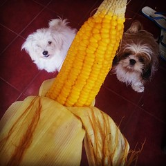 My view before I tasted this sweetcorn□ #cute #dogs #shihpoo #ShihTzu #dogsofinstagram #food