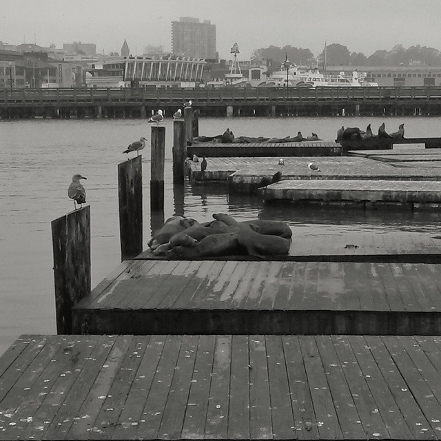 Pier 3 sea lions