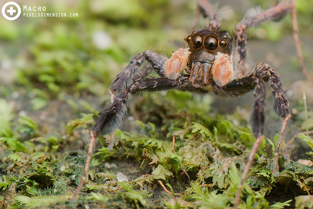 Portia Jumping Spider (Portia sp. ♂)