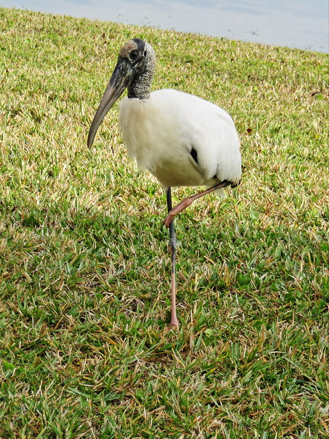 Wood Stork approaches 3-20141221