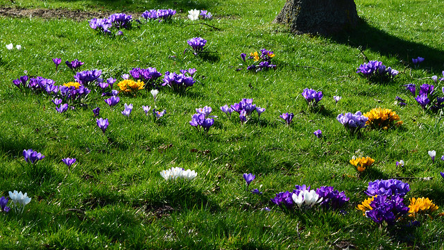 20140309-16_Spring Crocuses_Dunchurch