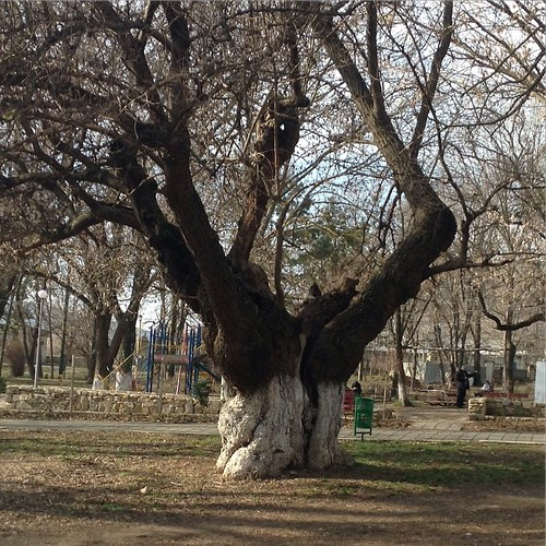 Старая шелковица в парке #старыйкрым