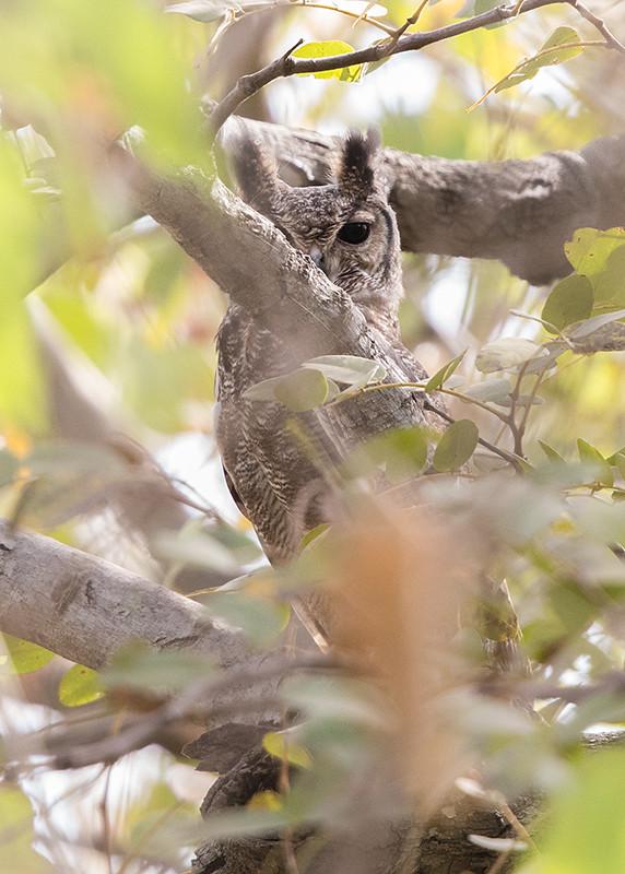 Greyish Eagle-Owl Gambia