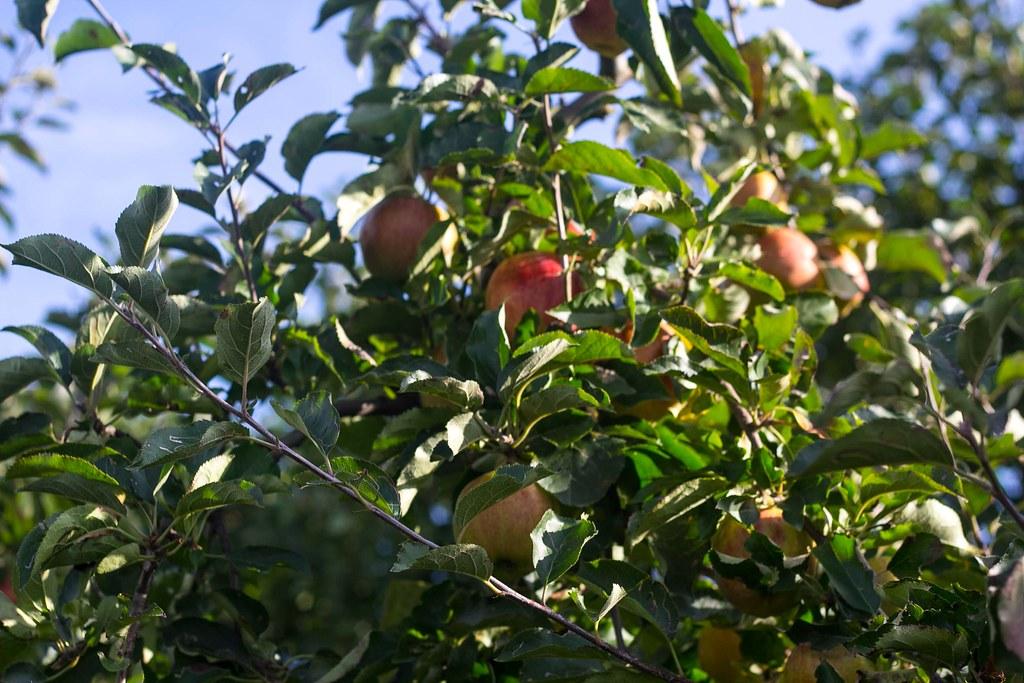 Æblemost (10)