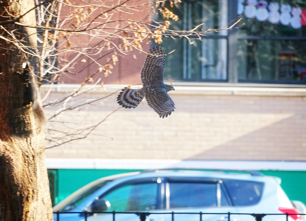 Cooper's Hawk on Ave B