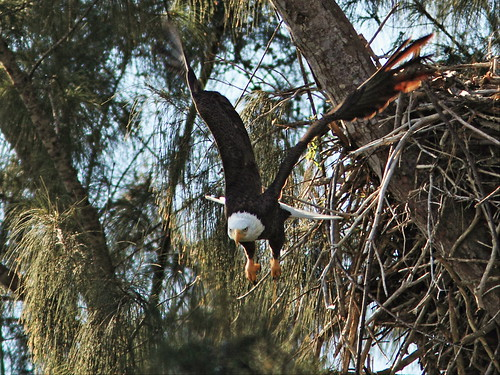 Bald Eagle male leaving nest 2-20150211