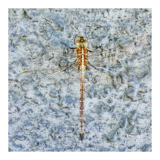 • golden libélula •