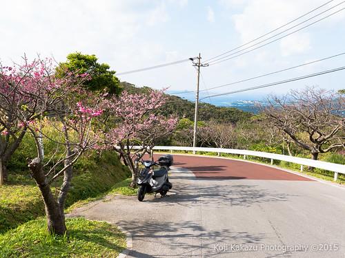 本部八重岳桜まつり #33