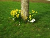 Daffs and crocusses