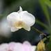 Moon Orchid, Phalaenopsis amabilis by Ebroh