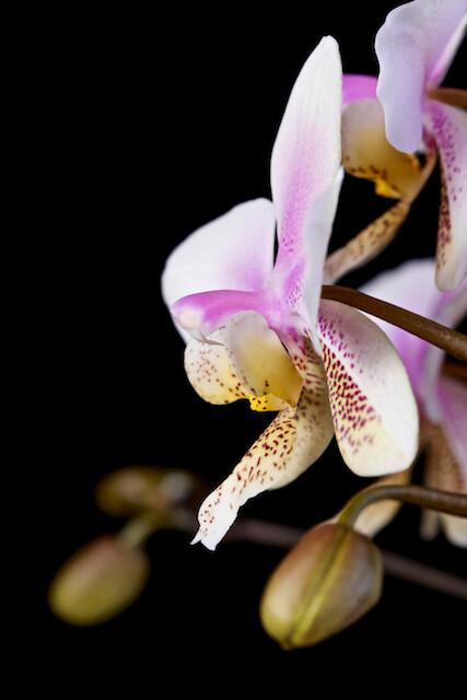 Phalaenopsis Wiganiae 16477809649_e014978035_z