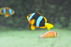 animal(1.0), anemone fish(1.0), fish(1.0), yellow(1.0), coral reef fish(1.0), marine biology(1.0), macro photography(1.0), fauna(1.0), underwater(1.0), pomacanthidae(1.0),