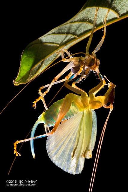 Raspy cricket (Gryllacrididae) - DSC_2449b