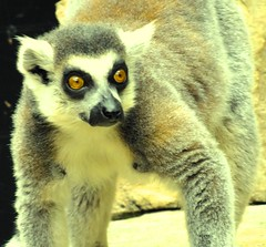 primate(0.0), squirrel monkey(0.0), animal(1.0), mammal(1.0), fauna(1.0), lemur(1.0), wildlife(1.0),