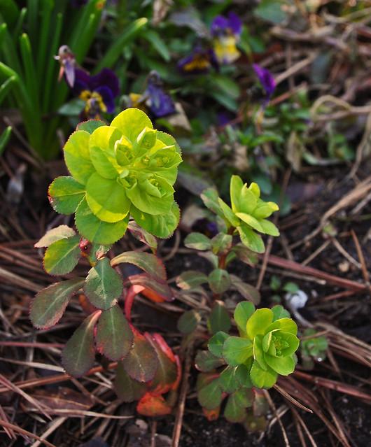 Euphorbia helioscopia (Mad Woman's Milk)