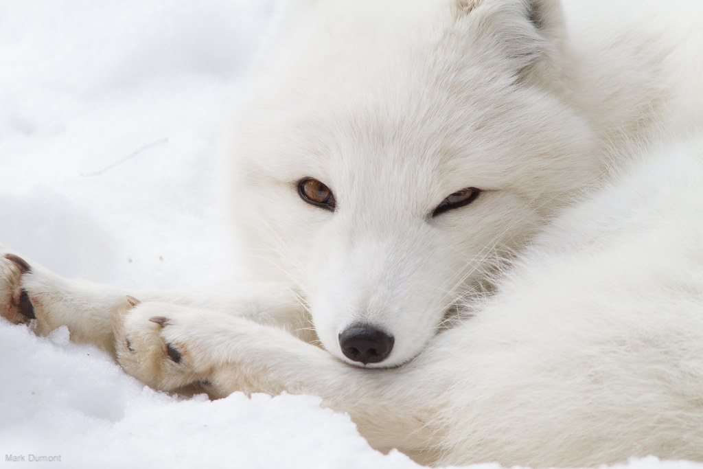 Arctic Fox Lounging