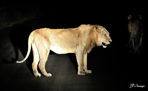 Lions at Night