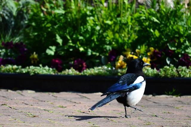 カササギ Eurasian Magpie