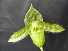 Paphiopedilum wardii var aureum Nakamura par Irène