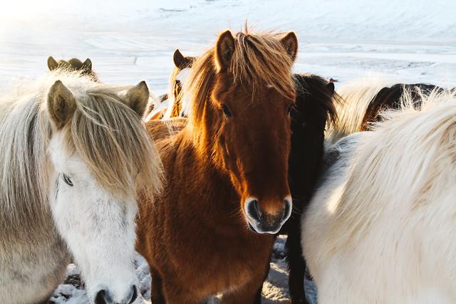 Icelandic horses at Kolsstaðir