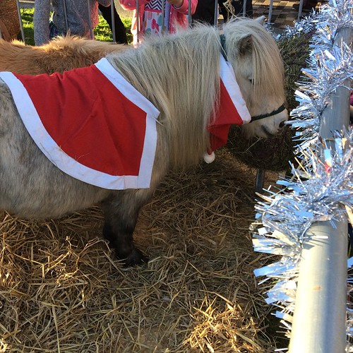 Miniature Christmas ponies at the winter festival!
