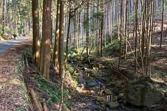 杉樹林帯の沢沿いの林道を行く