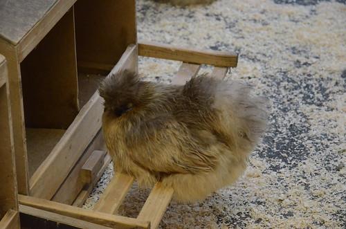 Seidenhühner im Züricher Zoo