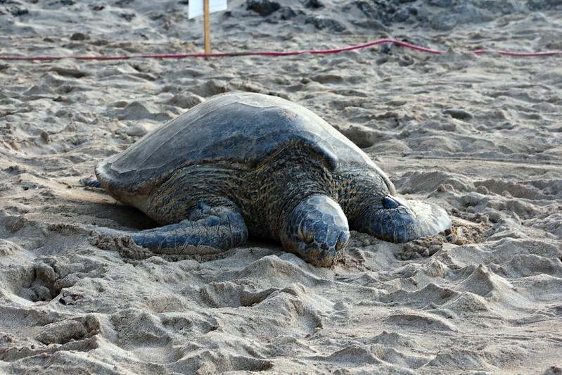 Honu - kilpikonna Havaijilla - Kuhina