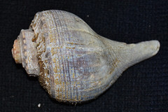 clam(0.0), seafood(0.0), food(0.0), conch(1.0), animal(1.0), sea snail(1.0), invertebrate(1.0), seashell(1.0), conch(1.0),
