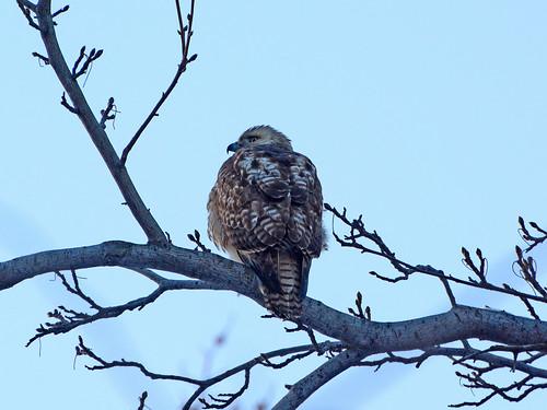 North Woods Hawk - 5641