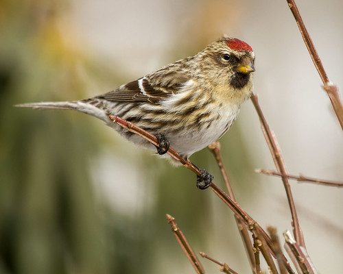 pennsylvania feeder commonredpoll acanthisflammea bradfordcounty