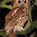 Tawny Owl, Strix aluco by Midlands Reptiles & British Wildlife Diaries