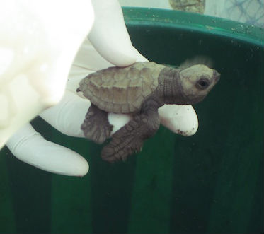baby-ridley-sea-turtle