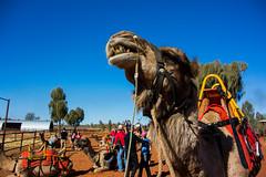 Uluru Camel Farm, Northern Territory, Australia.