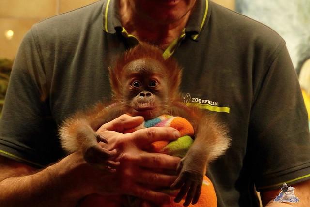 Berliner Zoo Orang Utan Rieke 22.02.2015   127
